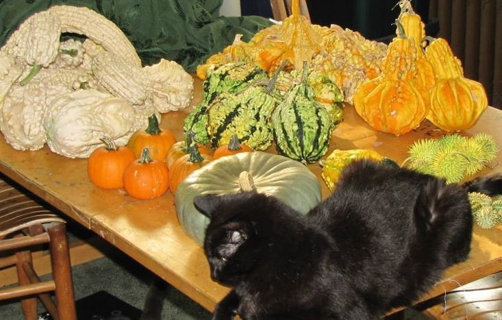A photo of my cat, Obsidian, with a harvest of gourds and pumpkins.