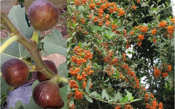 Two photos showing figs on the left and Pyracantha berries on the right.
