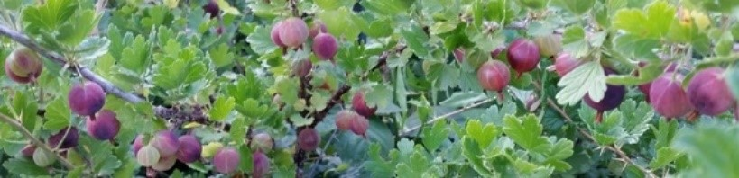 A photo of gooseberries ready for picking.