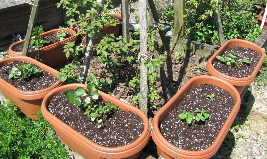 Photo of six long pots with strawberries around a blackberry plant growing up a pyramidal support.