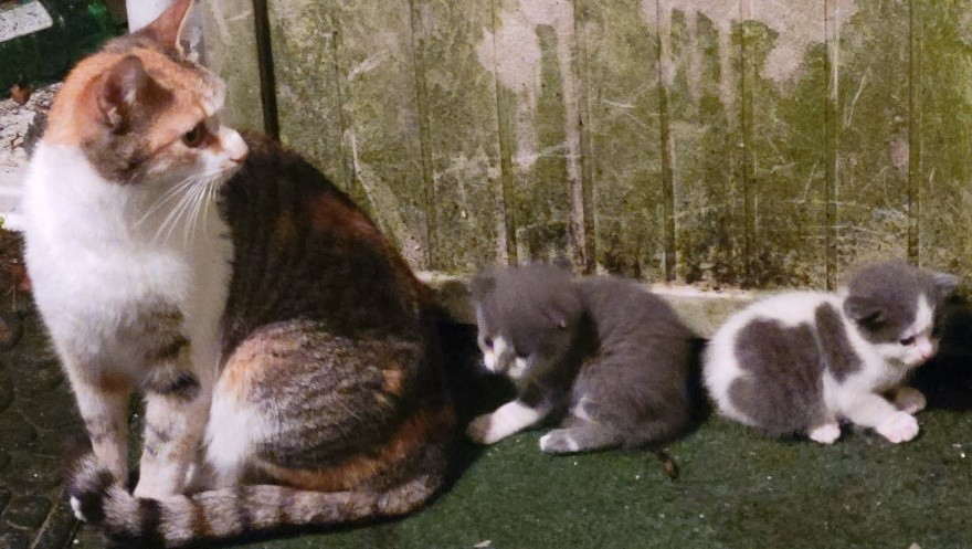 A photo of my feral cat, Sugar, with her kittens Odo and Dax.