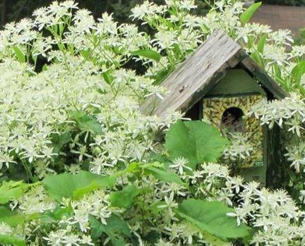 Photo of a homemade birdhouse hidden in autumn-joy clematis.