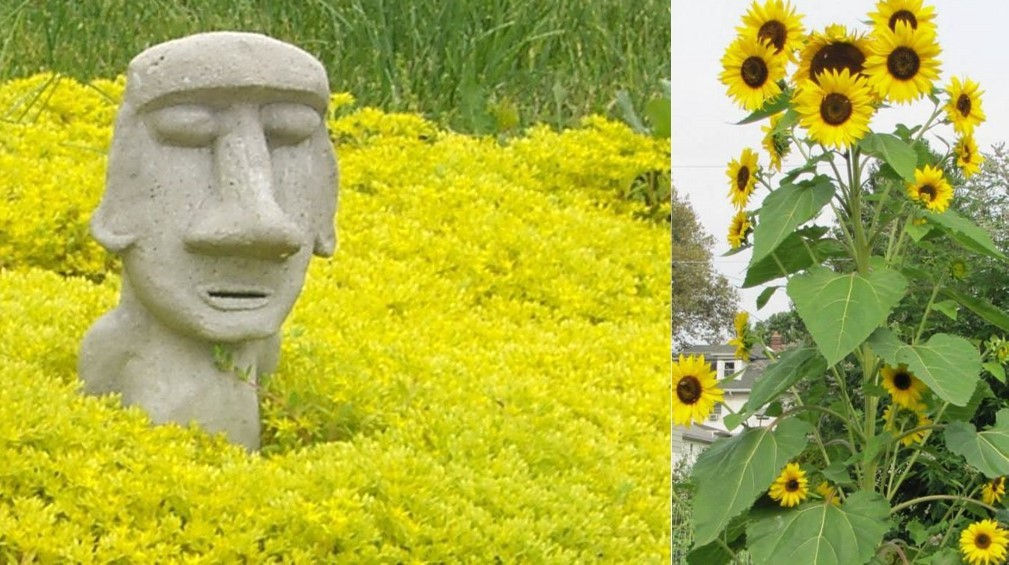 Two photos showing a cement moai I sculpted sitting in yellow Stonecrop Sedum on the left, and sunflowers seeded by birds from their feeder on the right.